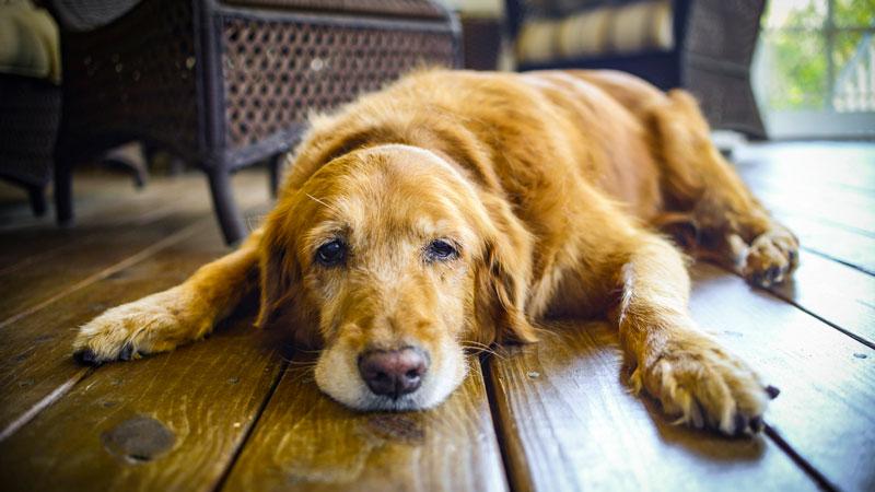 Un vieux chien