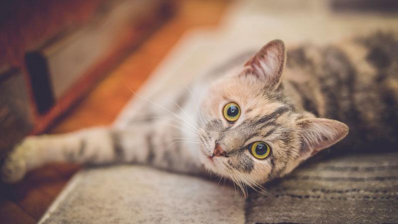 La stérilisation du chat