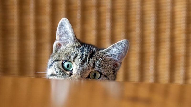 Chat avec un problème urinaire
