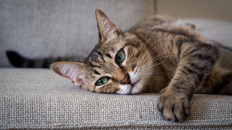 Problèmes urinaires chez le chat